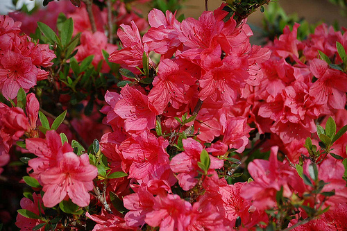 fuchsia azalea photo